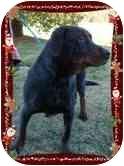 Rottweiler/Hound (Unknown Type) Mix Dog for adoption in Portland, Maine - Elmo (REDUCED FEE)