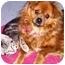 Photo 2 - Pomeranian/Pekingese Mix Dog for adoption in Osseo, Minnesota - Sunny