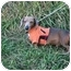 Photo 2 - Dachshund Mix Dog for adoption in Muldrow, Oklahoma - SPARKY