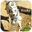 Photo 4 - Dalmatian Dog for adoption in Mandeville Canyon, California - Ricky