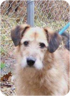 Border Terrier/Schnauzer (Miniature) Mix Dog for adoption in Toronto/Etobicoke/GTA, Ontario - Trixie