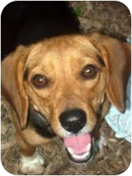 Beagle Dog for adoption in Yardley, Pennsylvania - Bella