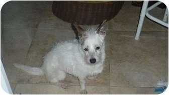 Jack Russell Terrier Mix Dog for adoption in Lebanon, Maine - Oti