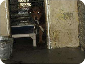 Shepherd (Unknown Type) Mix Dog for adoption in Henderson, North Carolina - Malley