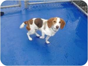 Beagle Dog for adoption in New Kent, Virginia - Maggie