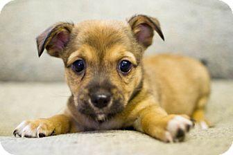 Chihuahua/Pomeranian Mix Puppy for adoption in Winston-Salem, North Carolina - Sandy