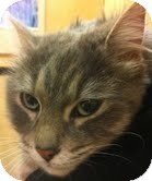 Domestic Longhair Cat for adoption in Modesto, California - Elinor