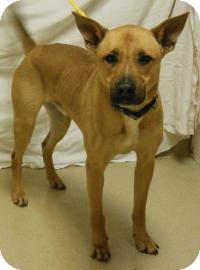 German Shepherd Dog Mix Dog for adoption in Gary, Indiana - Diesel