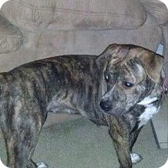 American Pit Bull Terrier/Labrador Retriever Mix Dog for adoption in McKeesport, Pennsylvania - Lucy