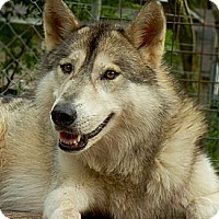 Husky/Shepherd (Unknown Type) Mix Dog for adoption in Orlando, Florida - Wolfdog - Sage