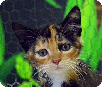 Domestic Shorthair Kitten for adoption in Searcy, Arkansas - Lauren