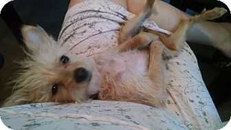 Poodle (Toy or Tea Cup)/Terrier (Unknown Type, Small) Mix Puppy for adoption in Simi Valley, California - Lulu