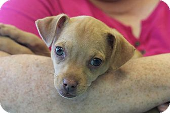 Chihuahua Mix Puppy for adoption in Fountain Valley, California - Peanut Butter