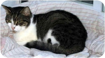Domestic Shorthair Cat for adoption in Ardsley, New York - Tippy