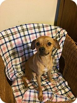 Chihuahua Dog for adoption in Elsberry, Missouri - Big Chico