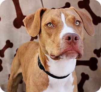 American Staffordshire Terrier Puppy for adoption in Inglewood, California - Lazareth