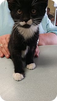 Domestic Shorthair Kitten for adoption in Cody, Wyoming - Palmer