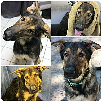 German Shepherd Dog Mix Dog for adoption in Forked River, New Jersey - Thunder