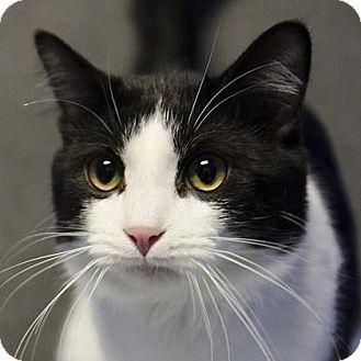 Domestic Shorthair Cat for adoption in Adrian, Michigan - Domino