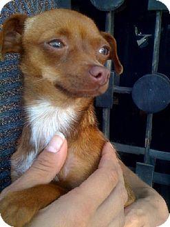 Chihuahua Dog for adoption in Fullerton, California - Mama 2