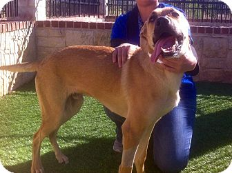 Black Mouth Cur Mix Dog for adoption in New York, New York - Cedar