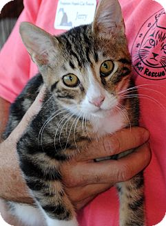 Domestic Shorthair Cat for adoption in Palmdale, California - Stormy