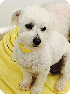 Poodle (Miniature) Mix Dog for adoption in Thousand Oaks, California - Rigby