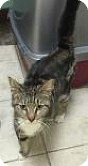Domestic Shorthair Cat for adoption in Columbus, Georgia - Gemma 8103
