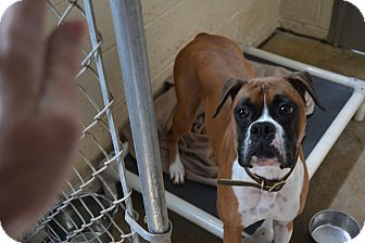 Boxer Dog for adoption in Freedom, Pennsylvania - Mylee