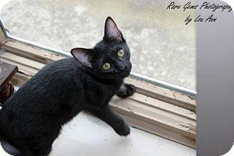 American Shorthair Kitten for adoption in Flora, Illinois - Jacob
