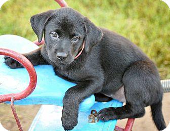 Labrador Retriever Mix Puppy for adoption in Colmar, Pennsylvania - Maddie