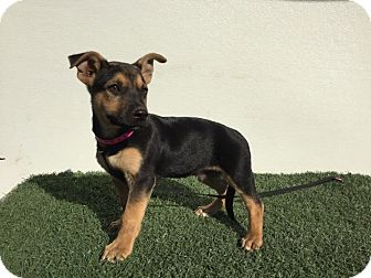 German Shepherd Dog/Corgi Mix Puppy for adoption in Studio City, California - Scooby