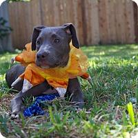 Adopt A Pet :: Tiki - Austin, TX