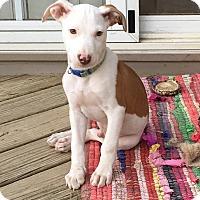Adopt A Pet :: Cajun - Fredericksburg, VA