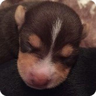 Dachshund Mix Puppy for adoption in Houston, Texas - Mac McIntosh