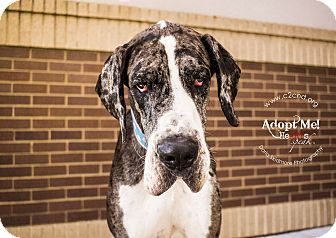Great Dane Mix Dog for adoption in Charlotte, North Carolina - Quinn