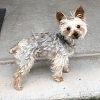 Adopt A Pet :: Gummy Bear - Phoenix, AZ