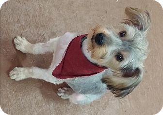 Yorkie, Yorkshire Terrier Puppy for adoption in Oberlin, Ohio - Archie