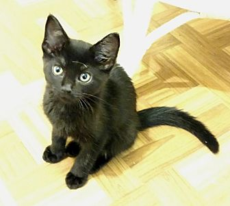 Domestic Mediumhair Kitten for adoption in Colmar, Pennsylvania - Wesley