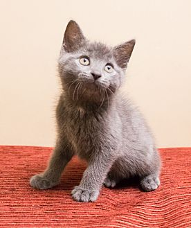 Domestic Shorthair Kitten for adoption in Chicago, Illinois - Yoshi