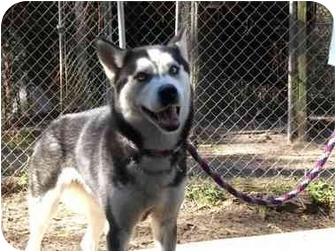 Siberian Husky Dog for adoption in Houston, Texas - Zaroka