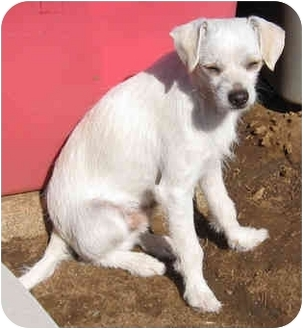 Border Terrier/Terrier (Unknown Type, Small) Mix Puppy for adoption in Poway, California - Frankie