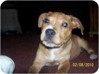 Boxer/Terrier (Unknown Type, Medium) Mix Puppy for adoption in Roseville, Michigan - Jakey