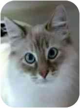 Siamese Cat for adoption in Salt Lake City, Utah - Geneva