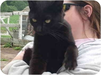 Domestic Shorthair Cat for adoption in Wooster, Ohio - Bobby