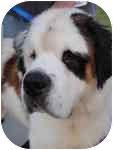 St. Bernard Dog for adoption in Plainfield, Illinois - Ditka