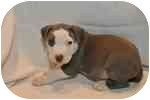American Pit Bull Terrier Puppy for adoption in Oak Lawn, Illinois - Flash