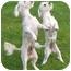 Photo 3 - Bichon Frise Mix Dog for adoption in La Costa, California - Molly