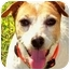 Photo 3 - Jack Russell Terrier Dog for adoption in Terra Ceia, Florida - MAGGIE MAY