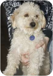 Poodle (Miniature) Mix Dog for adoption in Tangent, Oregon - Spongebob